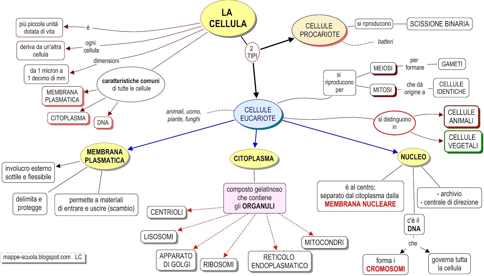 Mappa concettuale cellula materiale per scuola media materia scienze - Che forma hanno le cellule dei diversi tessuti ...